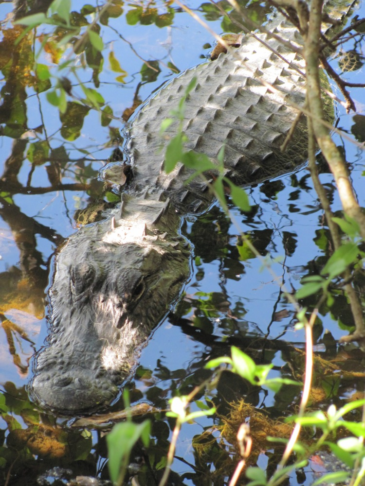 The Alligator or The Leaves? What Are You Focusing On? (2/2)