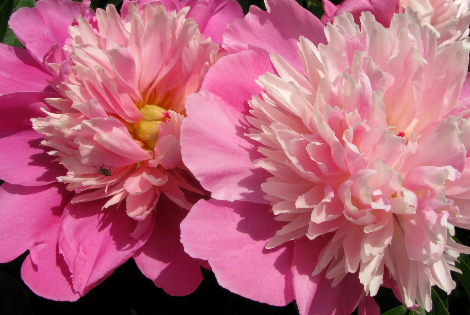 how to divide peonies in the fall