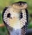 Cobra1b