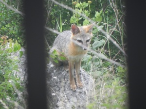 Fox from kitchen window
