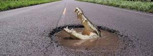 gator in pot hole