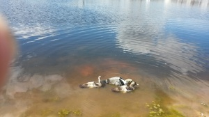 2015 3 Muscovy Ducks, 2 female and 1 male.  Picture taken over a month ago.