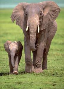 elephant mother