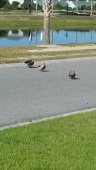 Ducks cross street.jpg