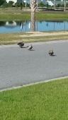 Ducks cross street.jpg