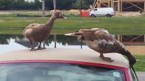 Ducks on VW 3