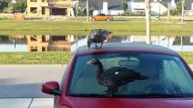 Ducks on VW day 2.jpg