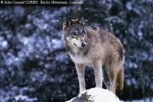Rocky Mtn wolf