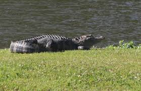 alligator on bank