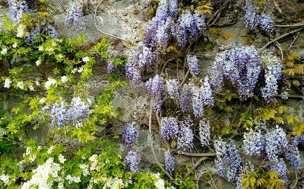 S - Drum Castle Wisteria